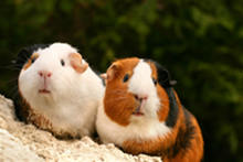 A pair of guinea pigs sitting on a rock.